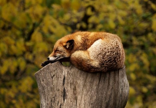 fox on log showing ways to relax